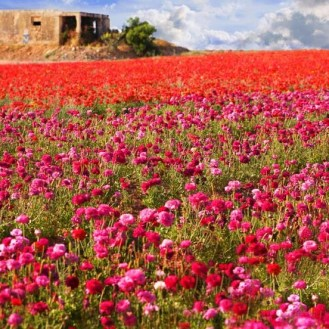 flowersongolanfieldsisrael