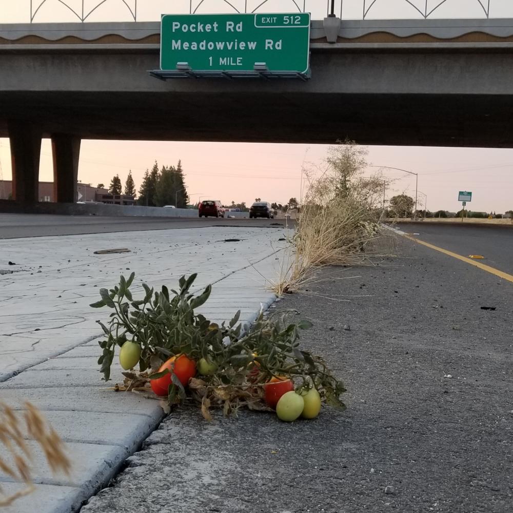 Highway Tomato Plant